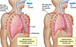 diaphragm-breathing-500x313
